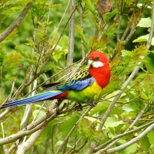 Eastern rosella - the most-viewed introduced species on New Zealand Birds Online. Image: Josie Galbraith, New Zealand Birds Online