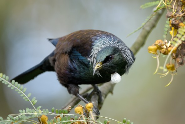 A tui photographed in Dunedin. Image: Criag McKenzie, New Zealand Birds Online