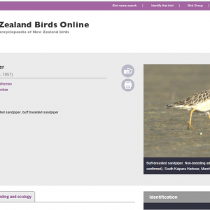 Buff-breasted sandpiper page on New Zealand Birds Online