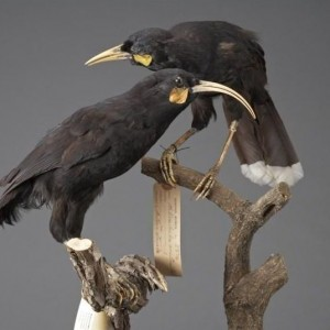 The huia was one of New Zealand's first fully protected species (in 1892), but this was not enough to save it from extinction. Image: Te Papa
