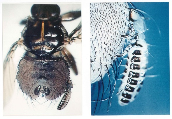 Left: A louse-fly carries a hitchhiking louse from a Japanese crow, attached to one of the fly's abdominal hairs. Right: detail of same louse. Photos by Rokuro Kano, Tokyo, Japan. © Rokuro Kano