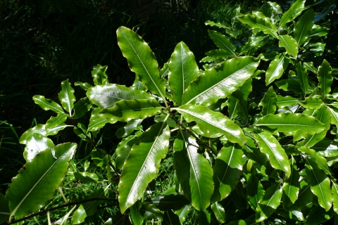 Tarata is a widespread tree that is also common in cultivation, because of its fast growth and lemon-scented flowers. The leaves, when crushed, also smell of lemon. Photo © Leon Perrie.