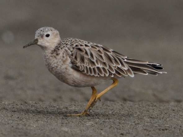 Buff-breasted sandpiper, South Kaipara Head. Image: (c) Ian Southey