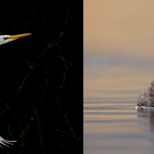 White heron and crested grebe – both fully protected nationwide since 1888. Images: Glenda Rees and Craig McKenzie, New Zealand Birds Online