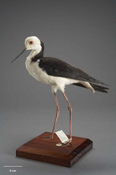 Pied Stilt, Himantopus himantopus leucocephalus, collected 18 Jan 1920, Waitotara, New Zealand. Purchased 1939. Te Papa
