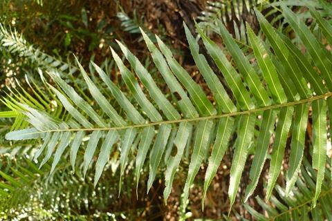 Telmatoblechnum indicum, at Noosa, previously Blechnum indicum. Photo Leon Perrie. © Te Papa.
