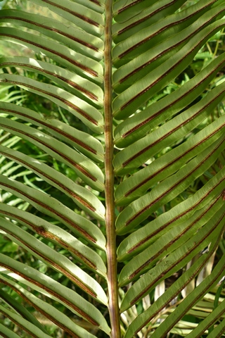 "Blechnum orientale, in Fiji. Most species of Blechnum in New Zealand are ""dimorphic"", with obviously different fertile and sterile fronds. (The exception is Blechnum fraseri, which is only partially dimorphic.) However, many overseas Blechnum are ""monomorphic"" like Blechnum orientale, which is widespread in the tropics from Asia through Australia to the Pacific.  Photo Leon Perrie. (c) Te Papa."