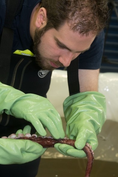 Aaron Boyd Evens, Auckland University of Technology, counts suckers on a colossal squid arm. Photograph: Norm Heke © Te Papa