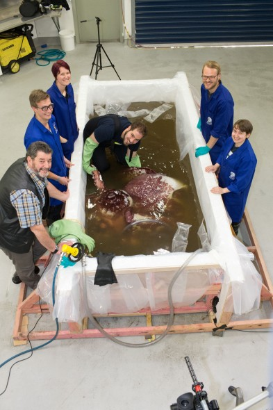 John Bennett, Skipper of the fishing vessel San Aspiring, and scientists from Auckland University of Technology examine the colossal squid. Photographer: Norm Heke © Te Papa