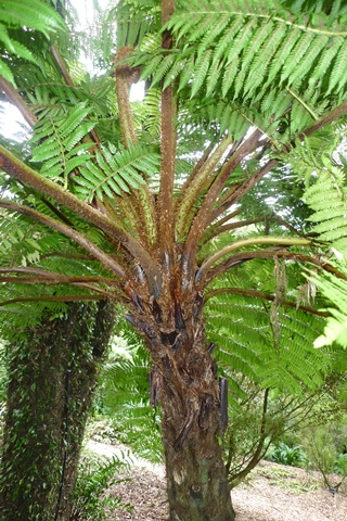 2 A. Cyathea kermadecensis, from the Kermadec Islands, in cultivation at Otari-Wilton's Bush, Wellington. Photo Leon Perrie. © Te Papa.