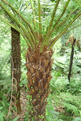 1 A. Cyathea milnei, from the Kermadec Islands, in cultivation at Otari-Wilton's Bush, Wellington. Photo Leon Perrie. © Te Papa.