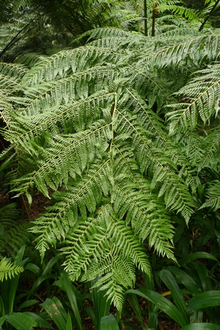 1 B. Cyathea milnei, from the Kermadec Islands, in cultivation at Otari-Wilton's Bush, Wellington. Photo Leon Perrie. © Te Papa.