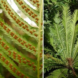 Left: rasp fern, Blechnum parrisiae, previously called Doodia australis, occurs in both Australia and New Zealand. Right: Blechnum gibbum, from New Caledonia. Blechnum gibbum is more closely related to the species formerly placed in Doodia than it is to most species of Blechnum. Photos Leon Perrie. Composite © Te Papa.