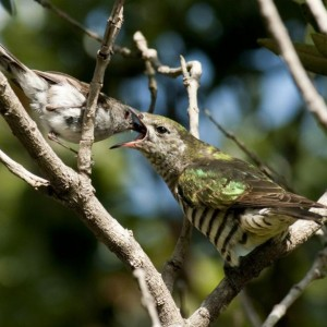 An adult grey warbler (left) feeds a recently fledged shining cuckoo chick. Image: Malcolm Pullman, New Zealand Birds Online