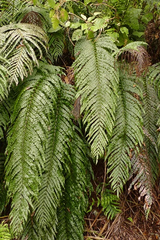 "Blechnaceae ferns are common in several parts of the world. For instance, all New Zealanders will be familiar with kiokio and its relatives in the genus Blechnum, colloquially known as ""hard ferns"" because of their coriaceous fronds.  Kiokio (Blechnum novae-zelandiae) is a common sight on road cuttings, amongst other habitats, and occurs throughout the country. Photo Leon Perrie. © Te Papa."
