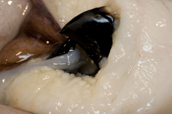 Colossal squid beak. Photographer: Jean-Claude Stahl © Te Papa