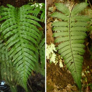 Blechnum neglectum, previously Pteridoblechnum neglectum, found only in north-eastern Australia. Right: Blechnum diversifolium, from New Caledonia. Blechnum diversifolium is more closely related to the species previously placed in Pteridoblechnum than it is to most species of Blechnum. Photos Leon Perrie. Composite © Te Papa.