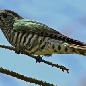 Shining cuckoos are often secretive, but are unmistakeable when seen well. Image: Duncan Watson, New Zealand Birds Online