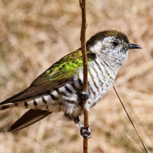 An adult shining cuckoo shows its iridescent dorsal plumage. Image: Nathan Hill, New Zealand Birds Online
