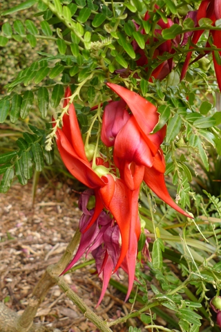 Kakabeak (kowhai ngutu-kākā, Clianthus maximus) in cultivation in Wellington. Photo © Leon Perrie.