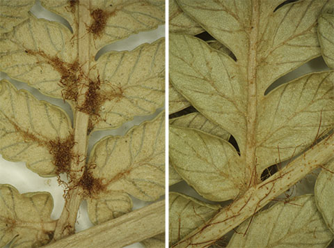 The hairs of Dicksonia lanata subspecies lanata are in obvious tufts, as at left.  The hairs of subspecies hispida are not in tufts, as at right. © Te Papa.