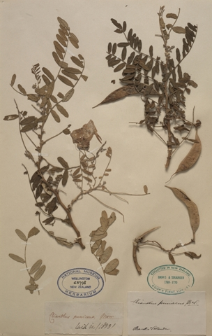 Kakabeak (kowhai ngutu-kākā, Clianthus puniceus). Collected by Joseph Banks and Daniel Solander, 1769, New Zealand. Te Papa, SP063798