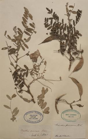 Kakabeak (kowhai ngutu-kākā, Clianthus puniceus). Collected by Joseph Banks and Daniel Solander, 1769, New Zealand. Te Papa, SP063798