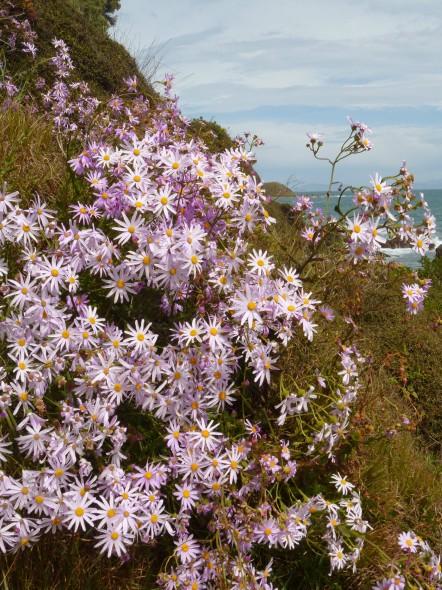 Pink ragwort plant, coast near Titahi Bay. Photo: Lara Shepherd