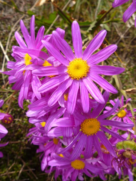 Pink ragwort flowers. THe flowers can range in colour from purple to nearly white. Photo: Lara Shepherd.