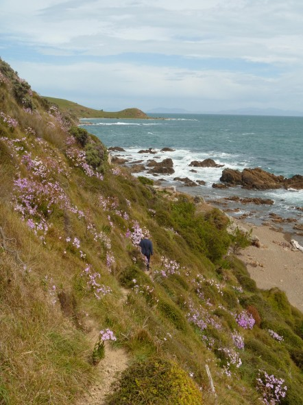 Pink ragwort is common on the coast south of Titahi Bay. Photo: Lara Shepherd.