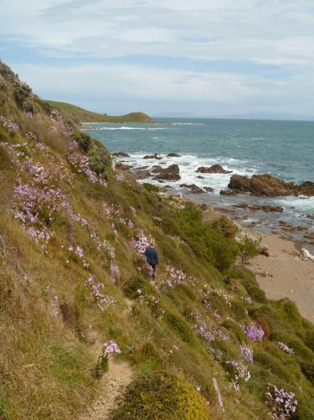 Pink ragwort is common on the coast south of Titahi Bay. Photo: Lara Shepherd.