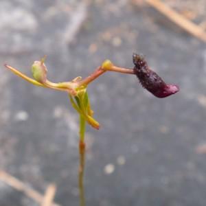 Slender hammer orchid (Drakaea gracilis), Albany. Photo: Lara Shepherd.