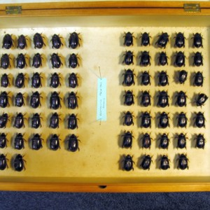 The L.H. McDowall collection of sand scrabs. Photo credit: Phil Sirvid, Te Papa.