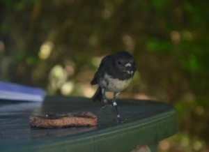 Robin at Motuara Island is very tame. Here is is trying to eat Caroline's jam toast. Banded green and white. Photo Caroline Boast, Copyright Caroline Bost