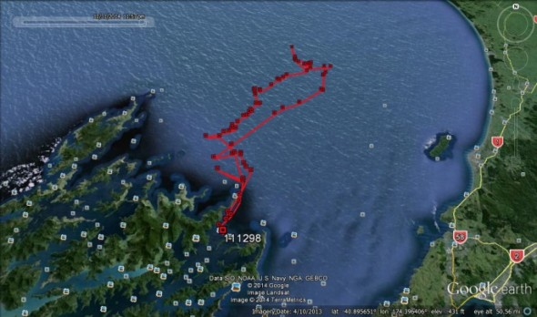 Little penguin track recorded by ARGOS satellite logger at Motuara Island, Marlborough Sounds. This bird went a maximum of 75 km from its nest, and returned within a few days the island. The raw data are shown here and may contain some error on individual locations. Image Google Earth, Copyright Te Papa.