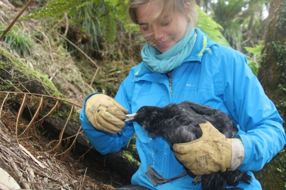 Caroline handles a juvenile Westland petrel prior to banding. Its hard to tell who is the most worried, the bird or Caroline. Image: Susan Waugh, Copyright, Te Papa.