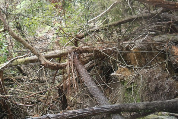 An are of Rowe Colony with tree fall, where Westland petrels continued to nest. Image: Susan Waugh. Copyright Te Papa.