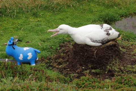 A birds with a more 'bold' response to meeting Betsy, clacks its bill and grumbles as Betsy is pulled away. Image: Susan Waugh. Copyright: Te Papa.