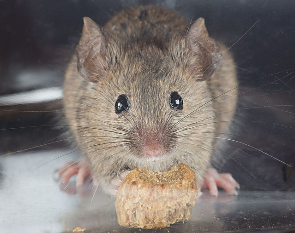 The House Mouse, Mus musculus. Image David Illig, Copyright David Illig.