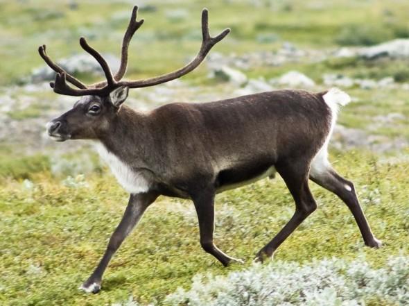 Strolling reindeer (Rangifer tarandus) in the Kebnekaise valley, Lappland, Sweden. Image: 20070818-0001-strolling_reindeer.jpg: Nattfodd.  Creative Commons Attribution-Share Alike