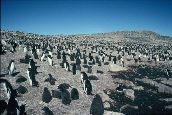 Adelie penguins breeding on Hop Island, Prydz Bay, Antarctica. Image: Colin Miskelly