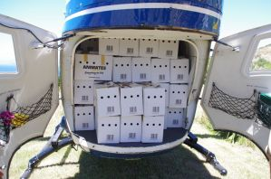 Fifty boxes containing 100 fairy prion chicks fill the cargo hold of the BK helicopter. Image: Colin Miskelly, Te Papa