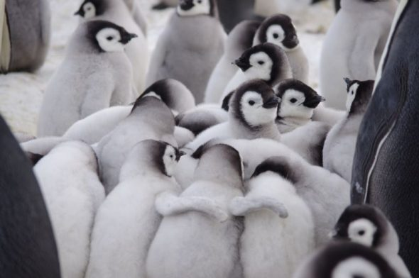 Emperor penguin chicks huddle during the cold of 'night', Gould Bay, November 2014. Image: Colin Miskelly