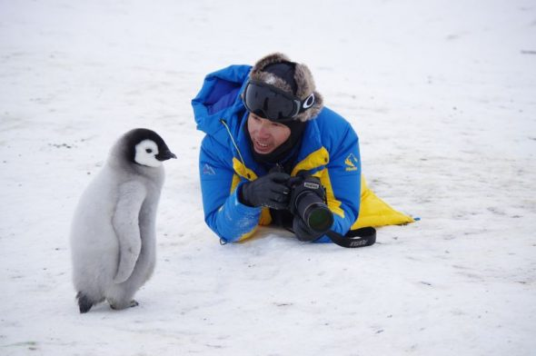 A curious emperor penguin chick with camera man