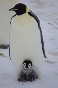 An emperor penguin broods its chick, Gould Bay, November 2014. Image: Colin Miskelly