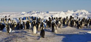 Emperor penguins breeding on sea-ice at Gould Bay, south-eastern Weddell Sea. Image: Colin Miskelly