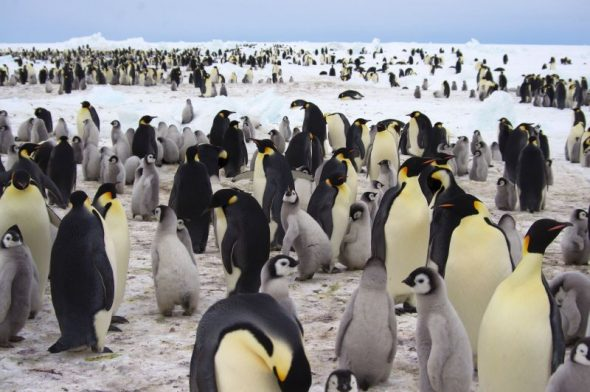 Part of the Gould Bay emperor penguin colony, November 2014. Image: Colin Miskelly