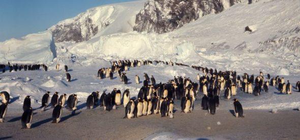 Cape Crozier emperor penguin colony. Image courtesy of Gerald Kooyman
