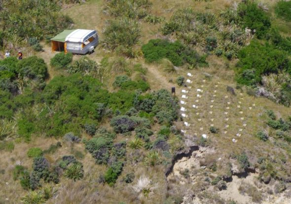 An aerial view of the artificial burrows (with wooden lids, at right of image) waiting to receive the 100 chicks on Mana Island. The caravan is used as shelter while feeding the chicks, with the team of FOMI volunteer feeders staying in accommodation about a kilometre away. Image: Colin Miskelly, Te Papa