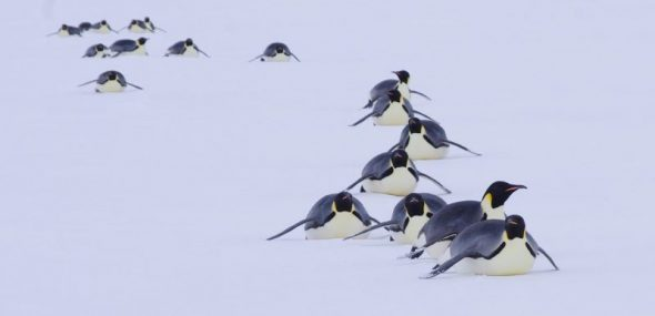 Tobogganing emperor penguins, Gould Bay. Image: Colin Miskelly
